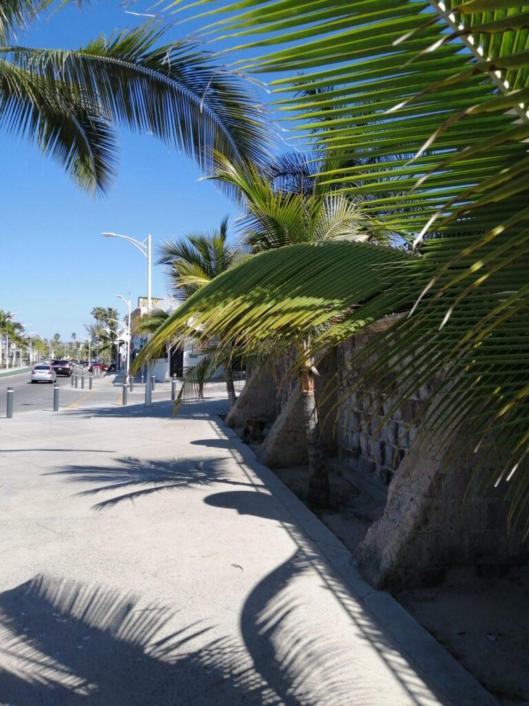 Palms in La Paz