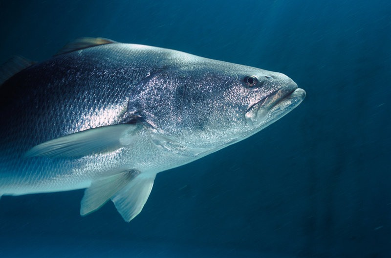 The Totoaba, a big fish sought after in China for its swim bladder