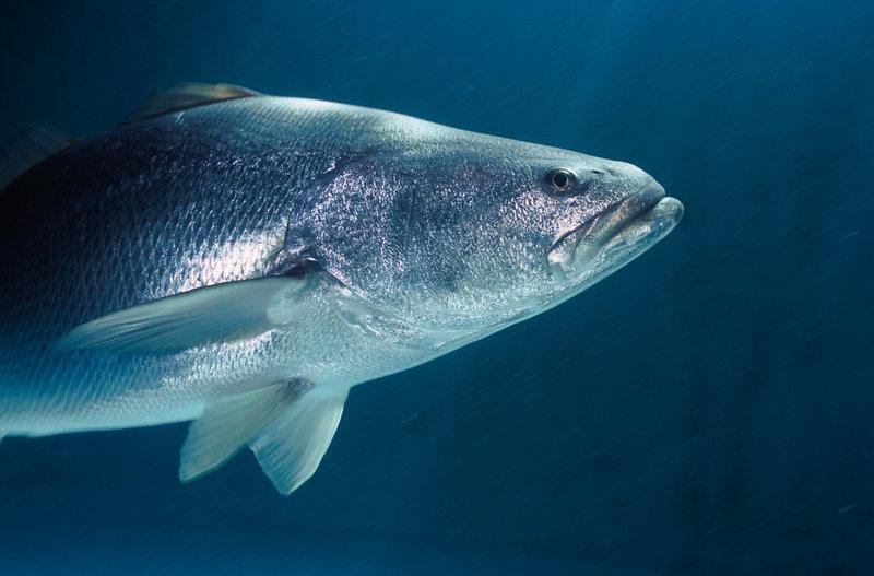 Die Totoaba, ein grosser Fischer der in China aufgrund seiner Schwimmblase sehr gesucht ist