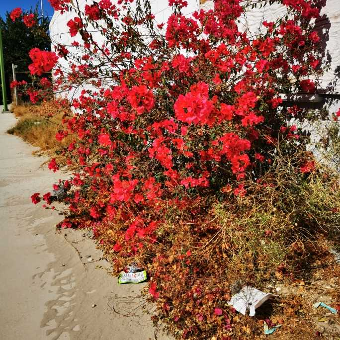 Nice red flowers on the streets of Puerto Peñasco, Sonora, Mexico.