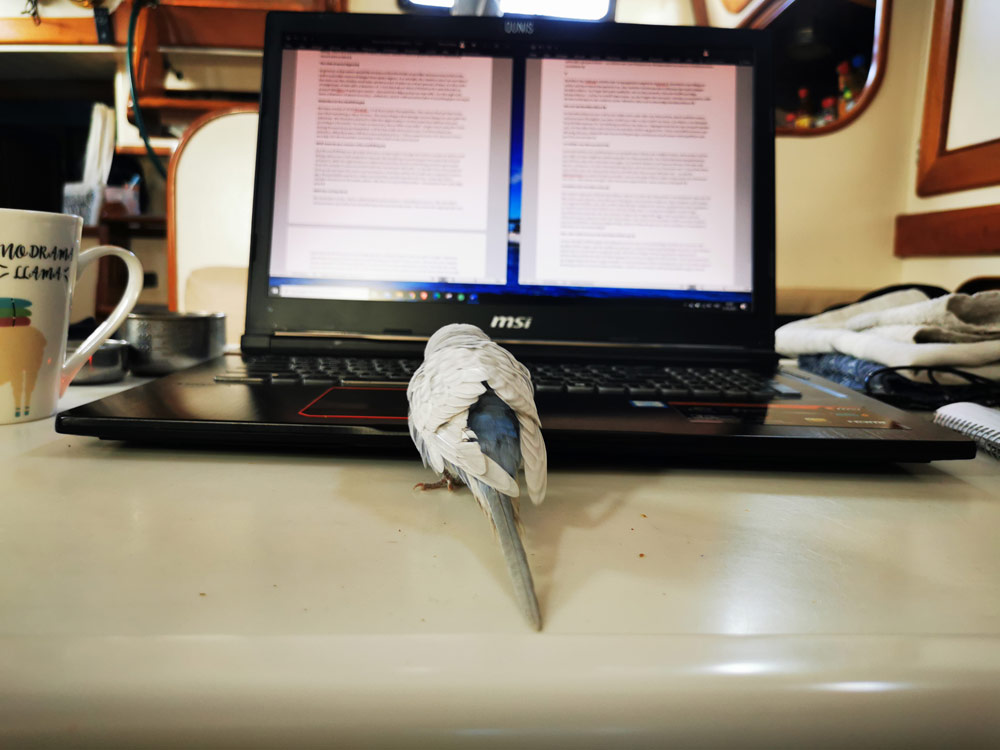 Budgie in front of our MSI Laptop