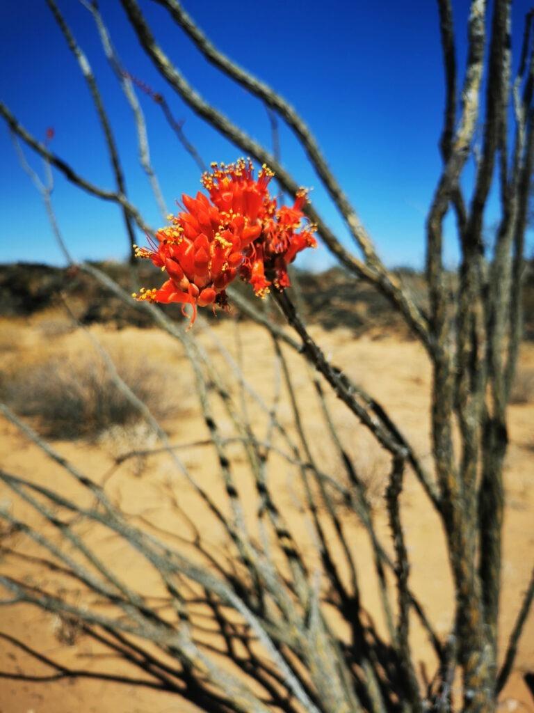 Fleur d'Ocotillo dans la réserve de biosphère El Pinacate et Gran Desierto de Altar