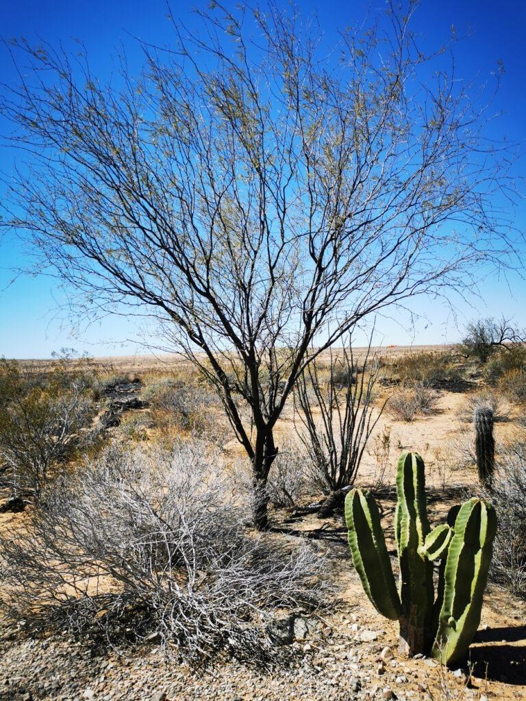 Arbre et cactus dans le désert de Sonora