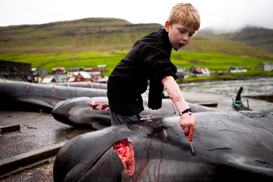 Ein Junge bearbeitet das Fleisch eines Grindwals am Grindadráp, der traditionellen Grindwaljagd auf den Färöer Inseln