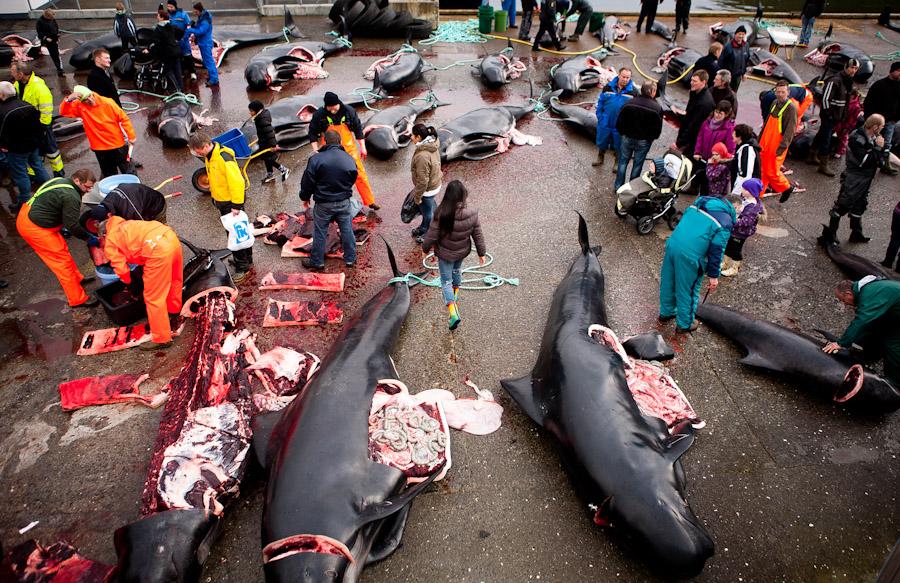 Der Grindadráp, die traditionelle Grindwaljagd findet auf den Färöer Inseln statt. Bild mit freundlicher Genehmigung von Katie Currid