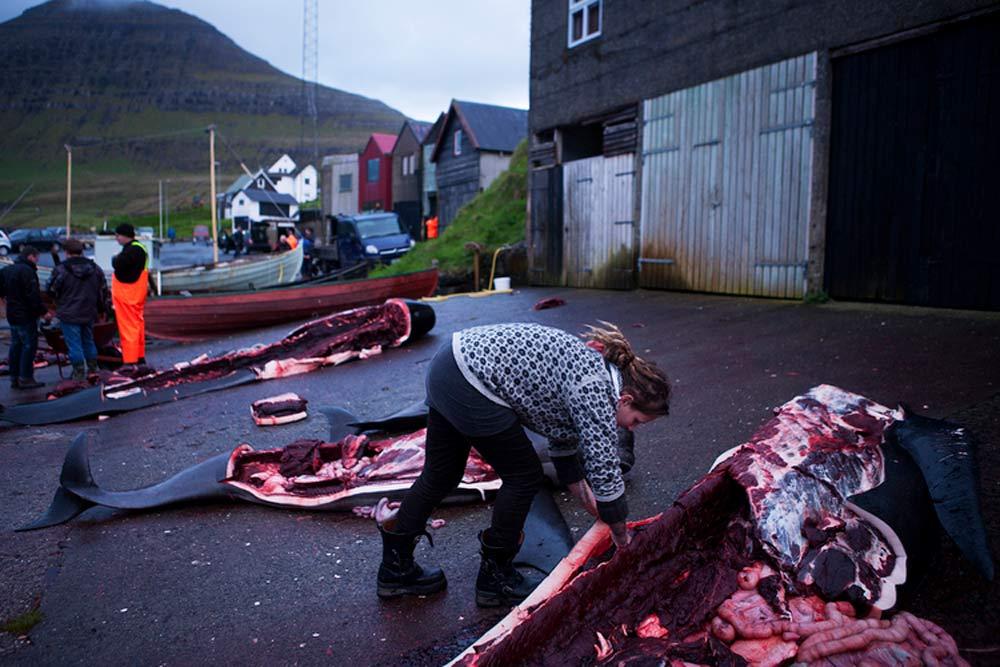 Eine Frau bearbeitet das Fleisch eines Grindwals am Grindadráp, der traditionellen Grindwaljagd auf den Färöer Inseln