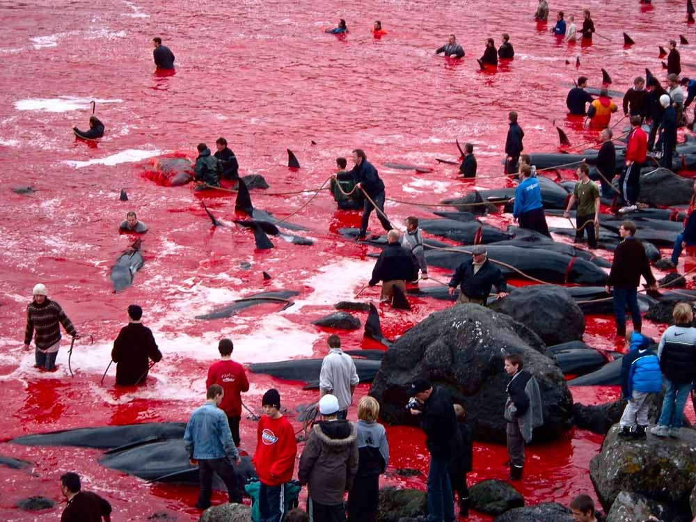 Faroese people take part in the annual Grindadrap, a pilot whale hunt on the Faroe islands