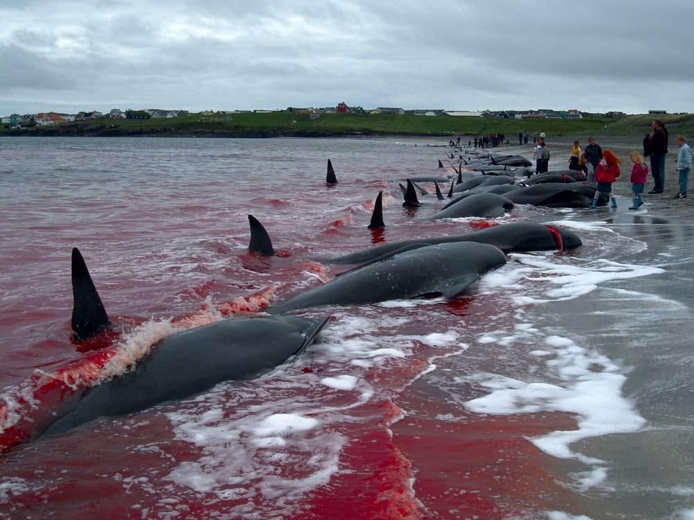 Tote Grindwale nach dem Grindadráp, der jährlichen Grindwaljagd auf den Färöer Inseln