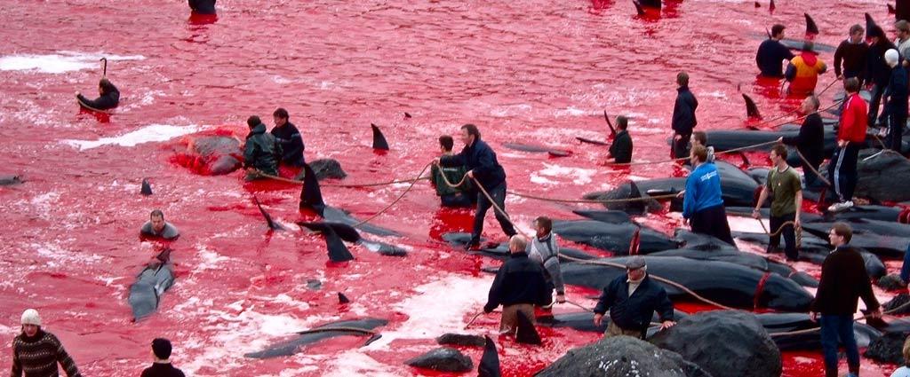 Bewohner der Färöer Inseln nehmen am Grindadráp teil, der jährlichen Jagd auf Pilotwale auf den Färöer Inseln. Bild mit freundlicher Genehmigung von Jan Egil Kristiansen