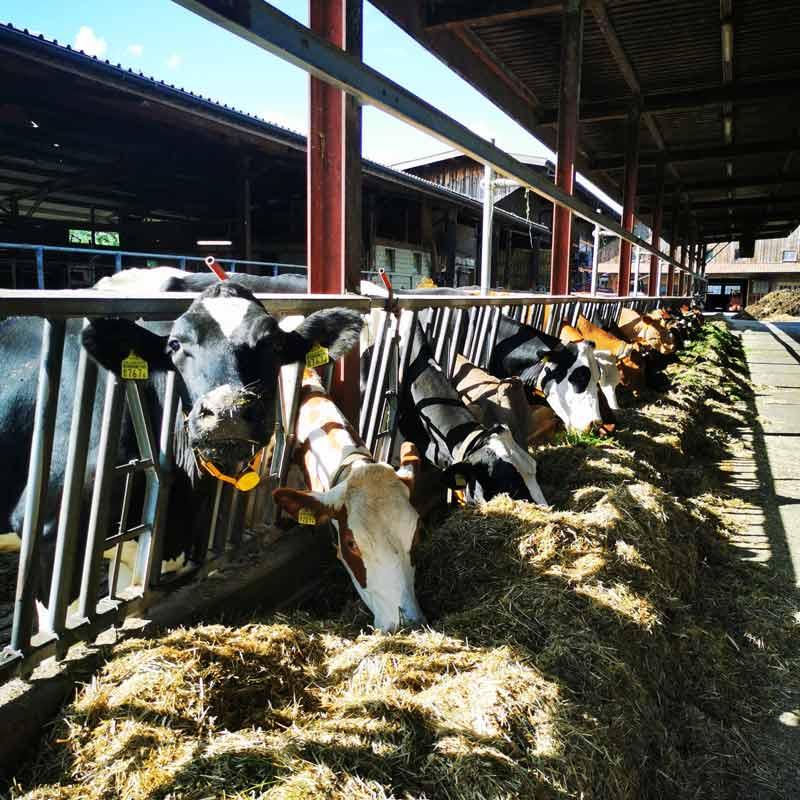 Swiss cows on a swiss farm